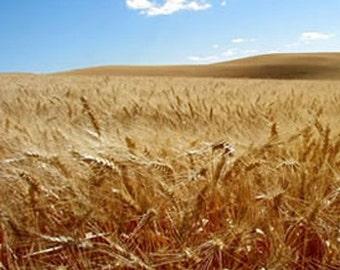 Barley Atlantic Seeds