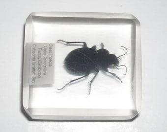 Ground beetle, Coleoptera: Carabidae in lucite block, species may vary