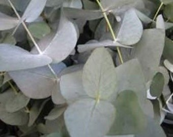 Eucalyptus cinerea - 20 seeds