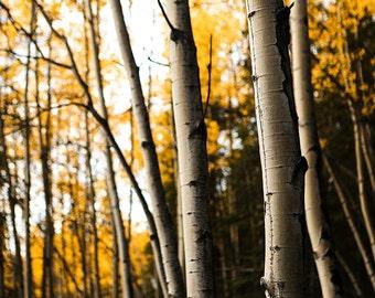 Birch Tree Art, Fall Tree Photography, Nature Photography, Denali National Park, Fine Art Photography, Yellow Leaves, Yellow Whispers