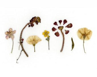 Photograph of Pressed Flowers from Colorado