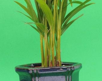 "Areca Palm set in 4"" BLue Glazed ceramic pot   (FREE SHIPPING)"