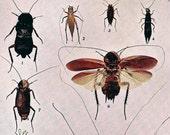 Walking Stick Cockroach Grasshopper Chart Vintage 1907 Edwardian Entomology Natural History Rotogravure Illustration To Frame XXXII