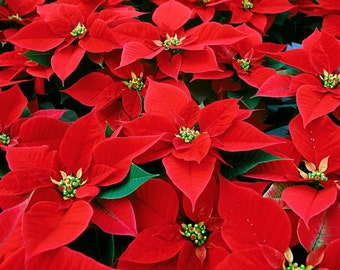Fragrance Oil Candle Scent - 4oz - POINSETTIA - candle fragrance, scent oil