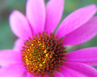 Purple Coneflower Yellow Pollen Historic Gardens Nature Woodland Fine Art Photograph