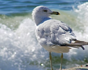 Surfin' Gull II-Matted and Ready to Frame-Original Photography of a Seagull