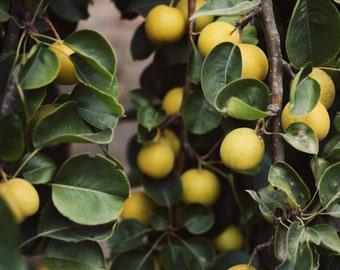 Botanical photography print asian pear fruit tree rustic farmhouse decor wall art - Asian Pear Tree