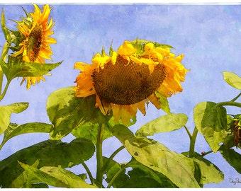 Morning Conversation (Sunflower - Botanical - Nature - Plants - Floral - Decor - Photography)