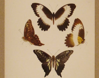 ANTIQUE PRINT BUTTERFLIES London Lithograph Handpainted   app 11  3/4x 8  5/8 inches Nymphalidae