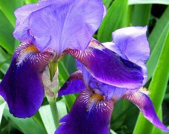 Purple Bearded Iris #2 Greeting Card