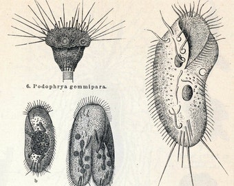 1895 Back-to-back Antique German Engraving of Protozoa