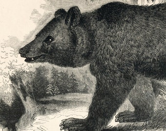 1840s-1850s Antique Engraving of the Bear