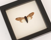 Framed Lace Cicada Insect Bug Under Glass F1586
