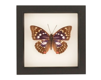 Purple Japanese Emperor Butterfly Insect Box Display
