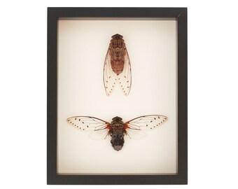Real Framed Cicada Display Natural History Study