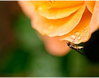 Orange Rose Flower Fine Art Canvas wrap -Dew -Raindrops -Wasp