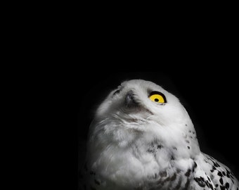 Snowy Owl Eye - 8x10 Black and White Bird Photography Print - Minimal Animal Art - Black Background - Gift under 20
