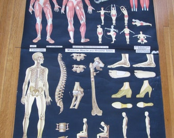 Vintage Winslow Health & Hygiene Chart - Skeleton, Muscles, Denoyer Geppert 1940s