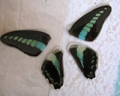 Butterflywing cabochons from real butterflies - #04