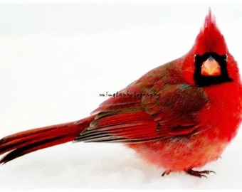 Cheese - Ruby red and snow white Cardinal red and Valentine gift idea Male Cardinal in snow angry bird ruby red Fine Art Photograph Print