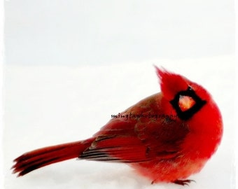 Yes Dear - Ruby red and snow white Cardinal Red Winter red Snow Christmas colors gift for her color photography 4x4 - 5x7