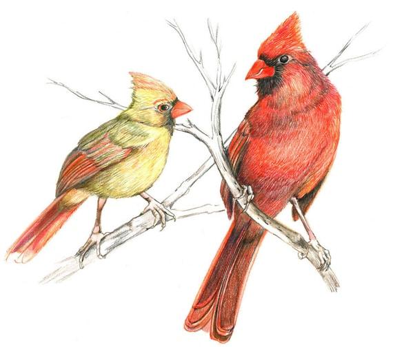 Cardinal Art Print 2 Cardinal Birds on branches Illustration  |Cardinal Bird Drawings