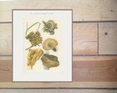 Rust, Hairy Crust, Turkey Tail, Dryad's Saddle Bracket, Poisonous/Edible Fungus 21, Kitchen Decor, Country Cottage  Mushroom Print,1974 Jiri