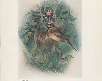 Cirl Bunting, Bird's Nest and Eggs, Antique Bird Print 89 Frameable, Art, 1910, George Rankin, Landsborough Thomson, Rustic Cabin Decor