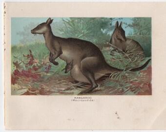 1895 kangaroo print original antique marsupial animal lithograph print