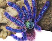 Avicularia Versicolor - 5 x 7 Fine Art Print - By Laura Airey Le - Beautiful Tarantula