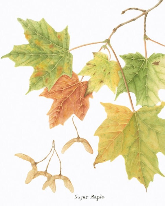 Sugar Maple BOTANICAL GICLEE PRINT