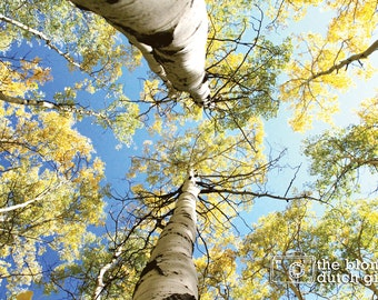 Looking Up at a Blue Sky Through Gold Aspen Trees in Colorado (photos, various sizes)