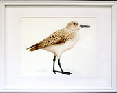 Original Watercolor of Sanderling Sea Bird - Matted & Framed