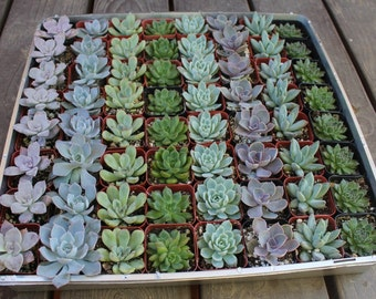 """100 ROSETTE Only Wedding Succulent collection potted in  2"""" containers collection of Beautiful WEDDING FAVOR Succulents Gifts~"""