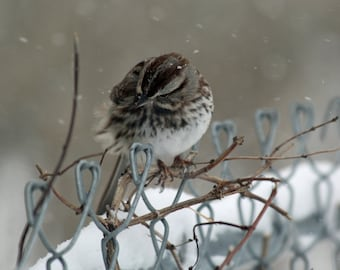 """Windblown Song Sparrow 12""""X8"""" photographic print of a Blizzard Bird 2015"""