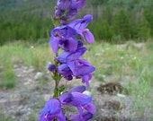 SALE Rocky Mountain Penstemon Purple Perennial BEE Friendly Flowers Water Wise Native Drought Tolerant Seeds