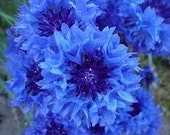 Bachelor Buttons Tall Blue Heirloom Cottage Garden Annual Flowers Easy to Grow Cut Flowers Spring Blooming Rare Seeds