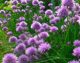 SALE Chives Heirloom Culinary Herb Mild Onion Flavor Easy to Grow Organically Grown Perennial Seeds