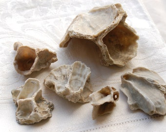 6 fossil barnacle shell pieces (no.32)