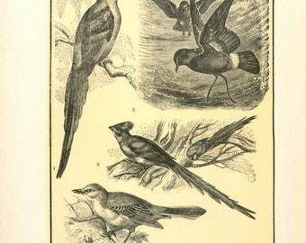 "Digital Download ""Bird Variety"" Illustration (c.1900s) - Instant Download Printable of Birds Illustrated Bird Book Page"