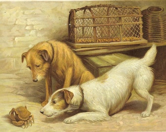 Antique 1906 Edwardian Print  Two Mongrel Dogs Rough Haired Watching Crab Scuttle Lobster Pot Book Plate Book Illustration