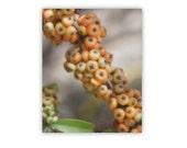 Berries Picture, Wall Decor Kitchen, Botanical Photograph, Botanical Art, Organic Art, Kitchen Art, Pyracantha, 8x10, 11x14, 16x20