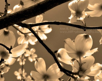 Dogwood Blossom Photo, Spring Tree Blossoms, Elegant Sepia Photo Print, Nature Photography, Dogwood Flowers