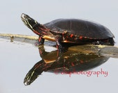 Painted Turtle Reflection - Wildlife Photography, Turtle Photograph, Photo For Child's Room, Nursery Decor, Nature Photo