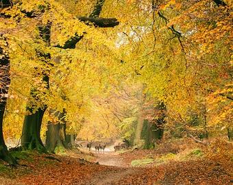 Autumn Colours, Ashridge Forest. Photography print.