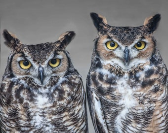 Great Horned Owls. Horned Owls. Owls. Birds of Prey. Raptors. Professional Print. Bird of Prey Photography by Liz Bergman