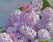Spring Lilacs, Fine Art Photography, Flower Photography, Floral Photography, Nature Photography