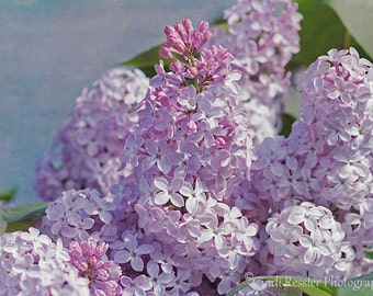 Spring Lilacs, Photography,  Floral Photography, Nature Photography