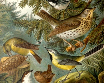 1900 Antique fine lithograph of SONGBIRDS, different species. Forest Birds. Colorful Birds. 116 years old nice print