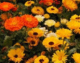 Calendula Medicinal Heirloom Herb Seeds Pot Marigold Edible Flower Non GMO